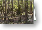 Cypress Knees Greeting Cards - Congaree National Park  Greeting Card by Dustin K Ryan