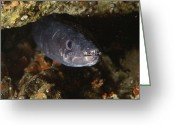 Crevice Greeting Cards - Conger Eel Greeting Card by Alexis Rosenfeld