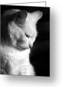 Black And White Cat Greeting Cards - Contempation  Greeting Card by Bob Orsillo
