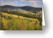 Santa Fe National Forest Greeting Cards - Coopers Hawk Flying Over Quaking Aspen Greeting Card by Tim Fitzharris