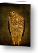 Sandy Keeton Greeting Cards - Coopers Hawk Greeting Card by Sandy Keeton