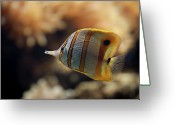 Crete Greeting Cards - Copperband Butterflyfish Greeting Card by Stavros Markopoulos