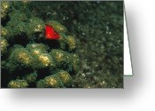 Marine Animal Greeting Cards - Coral Hawkfish Hiding In Coral Greeting Card by James Forte