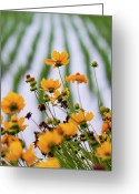 Tickseed Greeting Cards - Coreopsis Lanceolata In Front Of Rice Field Greeting Card by Glittering star. A whisper of trees. The noise of the town.