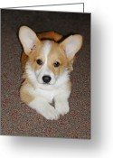 Puppies Greeting Cards - Corgi Puppy Lying Down Greeting Card by Laurie With