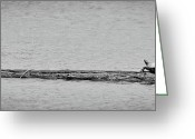 Wood Turtle Greeting Cards - Cormorant and Turtle Greeting Card by Kevin Munro
