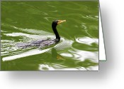 Phalacrocorax Auritus Greeting Cards - Cormorant Greeting Card by Randall Ingalls