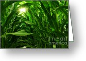 Sunrise Photo Greeting Cards - Corn Field Greeting Card by Carlos Caetano