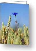 Cornfield Greeting Cards - Cornflower (centaurea Cyanus) Greeting Card by Bjorn Svensson