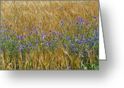 Cornfield Greeting Cards - Cornflowers (centaurea Cyanus) Greeting Card by Bjorn Svensson