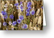 Cornfield Greeting Cards - Cornflowers (centaurea Cyanus) Greeting Card by Bob Gibbons