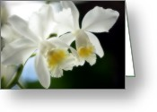 Corsage Greeting Cards - Corsage Orchid (cattleya Hybrid) Greeting Card by Maria Mosolova