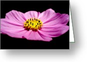 Blossom Greeting Cards - Cosmia pink flower Greeting Card by Sumit Mehndiratta