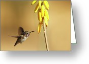 S. California Greeting Cards - Costas Hummingbird At Yellow Desert Flower Greeting Card by Susan Gary