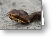 Dana Oliver Greeting Cards - Cottonmouth Greeting Card by Dana  Oliver