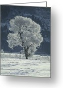 Tree-covered Greeting Cards - Cottonwood Tree Covered In Ice Greeting Card by Magrath Photography