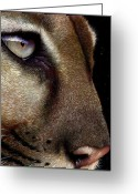 Lion Painting Greeting Cards - Cougar Greeting Card by Jurek Zamoyski