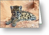 Muscles Greeting Cards - Cougar kitten resting Greeting Card by Melody and Michael Watson