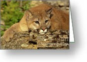 Wild Cat Greeting Cards - Cougar on Lichen Rock Greeting Card by Sandra Bronstein
