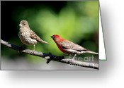 House Finch Greeting Cards - Courtship In Nature . 40D8073 Greeting Card by Wingsdomain Art and Photography