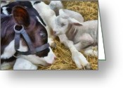 Newborn Greeting Cards - Cow and Lambs Greeting Card by Michelle Calkins