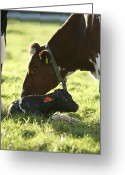 Attending Greeting Cards - Cow And Newborn Calf Greeting Card by Bjorn Svensson