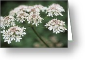 Tiny Flowers Greeting Cards - Cow Parsley (anthriscus Sylvestris) Greeting Card by Maxine Adcock