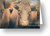 Cows Framed Prints Greeting Cards - Cow Portrait Greeting Card by Julie Moore