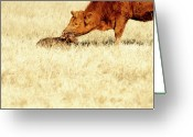 Beginnings Greeting Cards - Cow Smelling Newborn Calf Greeting Card by ©Debbie Prediger Photography