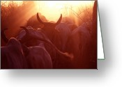 Uganda Greeting Cards - Cows Are Driven Into A Karimojong Kraal Greeting Card by David Pluth