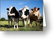 Green Day Greeting Cards - Cows Greeting Card by Jane Rix