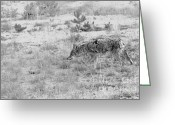 Interior Design Photos Greeting Cards - Coyote blending in Greeting Card by Christine Till