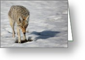 Prowling Greeting Cards - Coyote On Prowl Greeting Card by Bucks Wildlife Photography