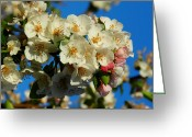 Anther Greeting Cards - Crab Apple Blossom Macro 002 Greeting Card by Lance Vaughn