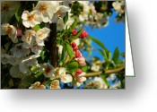 Anther Greeting Cards - Crab Apple Blossom Macro 003 Greeting Card by Lance Vaughn