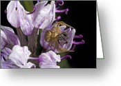Spider Flower Greeting Cards - Crab Spider Cannibalism Greeting Card by Bob Gibbons