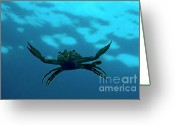 Crabs Greeting Cards - Crab swimming in the blue water Greeting Card by Sami Sarkis