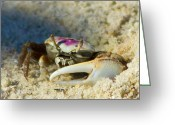 Fiddler Crab Greeting Cards - Crabby Greeting Card by Wild Expressions Photography