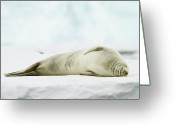 Antarctica Greeting Cards - Crabeater Seal (lobodon Carcinophaga) Greeting Card by Elliott Neep