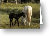 Restless Light Photography Greeting Cards - Cracker Foal and Mare Greeting Card by Lynn Palmer