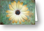 Aster  Photo Greeting Cards - Cream Coloured Daisy Greeting Card by Chris Thaxter