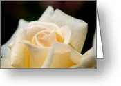 Rose Petals Greeting Cards - Cream Rose Kisses Greeting Card by Lisa Knechtel