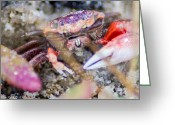 Fiddler Crab Greeting Cards - Creepy Crab Greeting Card by Shannon Harrington