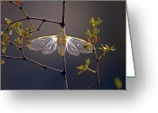 Resting Greeting Cards - Creosote Cicada Greeting Card by Steven Love