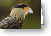 Head And Shoulders Greeting Cards - Crested Caracara Polyborus Plancus Greeting Card by Pete Oxford