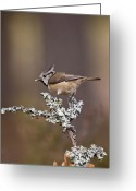 Birdwatcher Greeting Cards - Crested Tit Lophophanes cristatus Greeting Card by Gabor Pozsgai