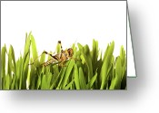Side View Greeting Cards - Cricket In Wheat Grass Greeting Card by Pascal Preti
