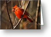 Red Bird Greeting Cards - Crimson King Greeting Card by Lois Bryan