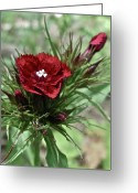 Warm Looking Flower Greeting Cards - Crimson Velvet  Greeting Card by Debra     Vatalaro