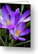 Crocus Greeting Cards - Crocus Flower Greeting Card by Andrew Dernie